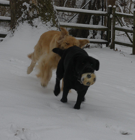 Two dogs running in the snow and playing with a ball